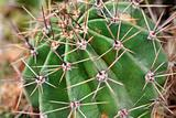 Thorny barrel cactus plant part