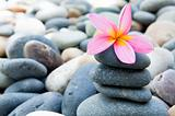 frangipani with stack of rocks