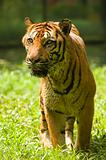 potrait of a tiger