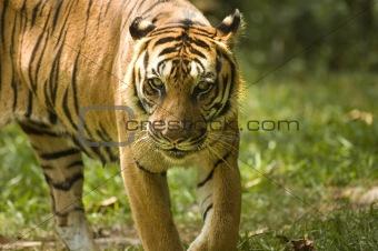 potrait of a tiger