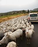 Sheep and Car on Rural Road