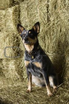Australian Shepherd on a Hay Bale