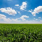 Green Cornfield and Blue Sky