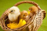 Happy Easter. Chickens in basket