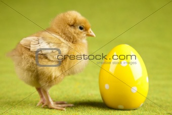 Baby chick