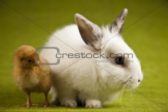 Little chick on rabbit on green