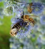 Bees on blue flowers.
