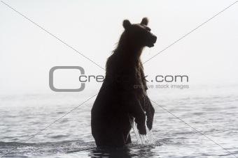Bear in a fog