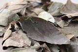 leaf of coca