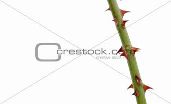 Branch with thorns isolated on white