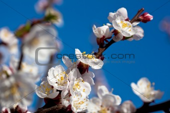 Apricot branch in bloom