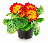 red flowers with green leaves in the pot