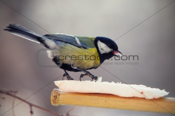 tomtit eating fat on a birdfeeder
