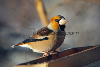 grosbeak perched on a birdfeeder
