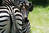 zebra baby with mother