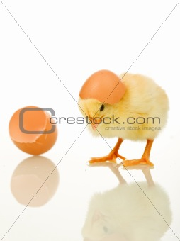 Little baby chicken with egg shell