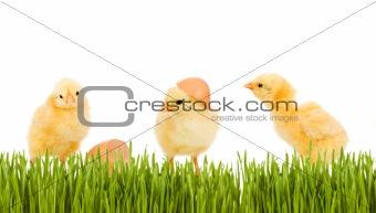 Three baby chicken in the grass