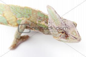 Beautiful big chameleon