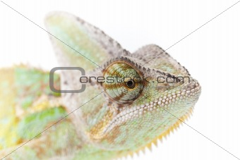 Beautiful big chameleon