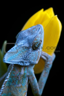 Beautiful chameleon