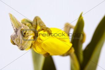 Beautiful chameleon