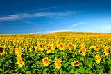 Sunflowers meadow
