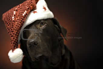 christmas chocolate labrador