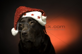 christmas chocolate labrador