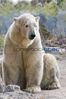 Sitting ice- or polarbear