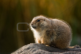 Prairie dog in winterfur