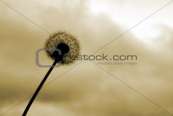Beautiful dandelion
