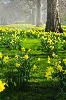 Daffodils in St. James's Park
