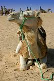 Camel in macro plan with caravan in background