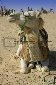 Camel in macro plan with caravan in background