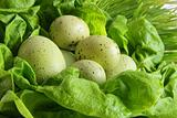 Green easter eggs in lettuce leaves