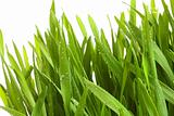 Wheatgrass against a white