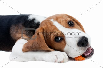 Beagle puppy eating