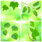 Collage of grenn leaves in spring
