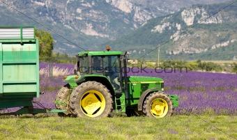 lavender harvest, Alpes-de-Haute-Provence Departement, France