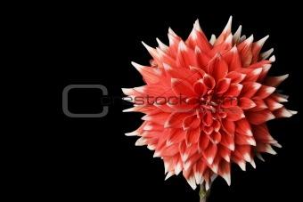 Beautiful red daliha
