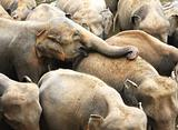 Elephant at pinawala, sri lanka