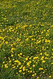 Yellow spring flowers outdoors