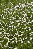 Lots of white flowers on the spring field