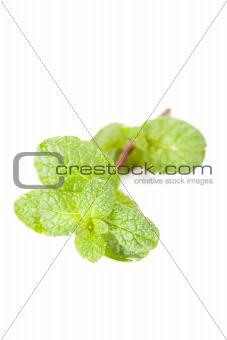 green mint leaf