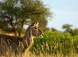 Young Female Waterbuck
