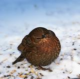 Hungry blackbird in wintertime - snow and cold weather