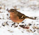 Chaffinch - beautiful European bird in snow