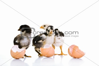 3 Baby chickens