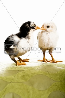 2 baby chickens