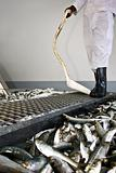 Worker looking at fish selection